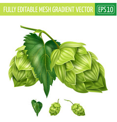 Hops on white background vector