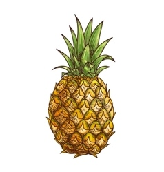 Pineapple exotci tropical fruit isolated sketch vector image
