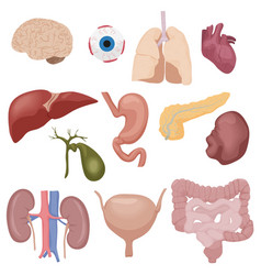 Human body internal parts organs set isolated vector image