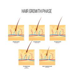 Human hair growth phase scheme flat style vector