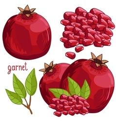 Pomegranate Isolated vector