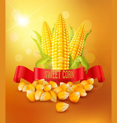 background with grains and cobs of corn vector image vector image