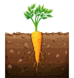 Carrot with root underground vector