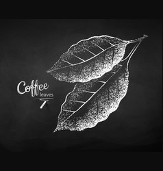 Chalk drawn sketch coffee leaves vector