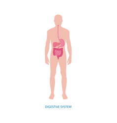 Human digestive system - medical diagram with vector