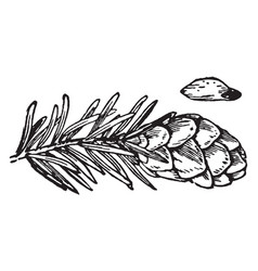 Hemlock spruce cone seed and foliage vintage vector