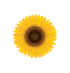 sunflower summer flower isolated vecor vector image