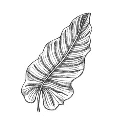philodendron melanochrysum leaf hand drawn vector image