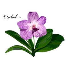 orchid flower with green leaves on white vector image