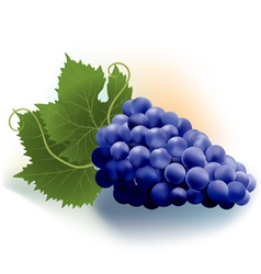 grapes dark vector image