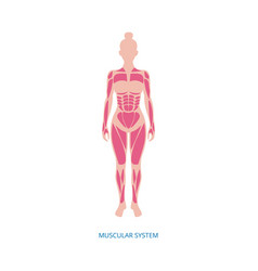 Muscular system - muscles anatomy female body vector