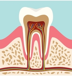 tooth teeth cell structure anatomy with flat style vector image vector image