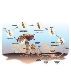 Mushroom life cycle vector image