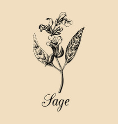 sage hand drawn salvia branch vector image