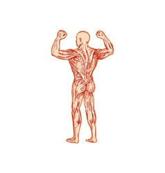 Human Muscular System Anatomy Etching vector image vector image