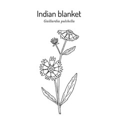 Firewheel or indian blanket or sundance vector