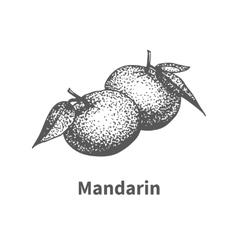 Hand-drawn mandarin vector