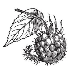 Raspberry spanworm vintage vector