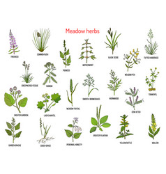 Wild meadow herbs and grasses vector
