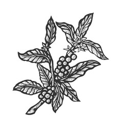 coffee plant sketch engraving vector image