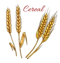Cereal wheat and rye ears isolated icon vector image