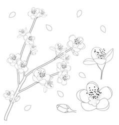Prunus persica outline - peach flower blossom vector