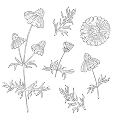 Camomile with stem and leaves hand drawing vector