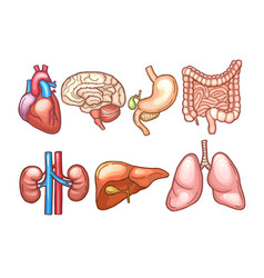 human organs in cartoon style biology vector image