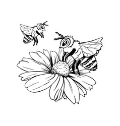 Chamomile bud and bee pollination hand drawn ink vector