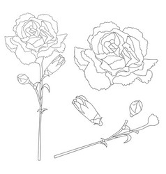 Dianthus caryophyllus outline - carnation flower vector