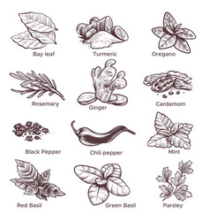 Spices and herbs hand drawn ginger chilli vector