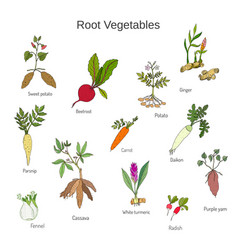 Vintage hand drawn root vegetables set vector