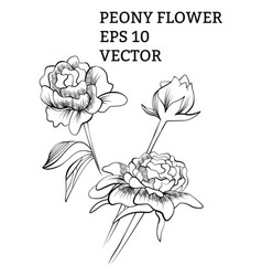 peony collection in vector image