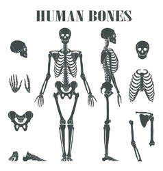 Human skeleton with different parts vector image vector image