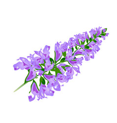 Purple flower sage vector