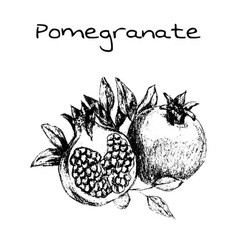 hand drawn vintage isolated pomegranate vector image vector image