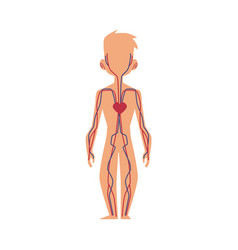 Anatomy chart of human blood system male body vector