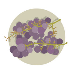 two bunches of purple grape vector image