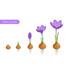 crocus flower plant growth evolution concept vector image