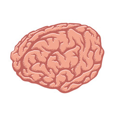 human brain isolated on white vector image