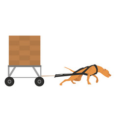 harnessed pit bull pulls the cargo vector image