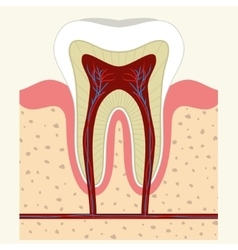 Human tooth and gum anatomy vector image