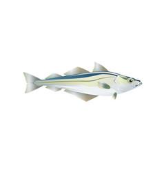 pollock fish drawn of atlantic or alaska vector image