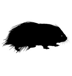 Silhouettes black of porcupine on a white vector