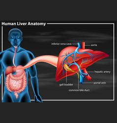 Human liver anatomy diagram vector
