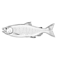 Atlantic Salmon vector image