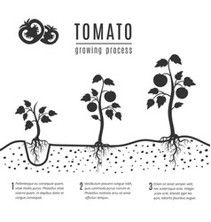 Tomato plant with roots growing stages vector