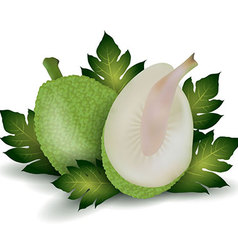 breadfruit vector image