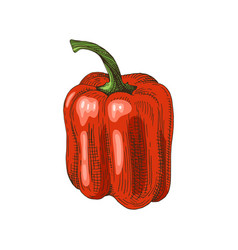 Hand drawn sweet pepper vector