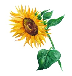 sunflower flower painted by hand vector image